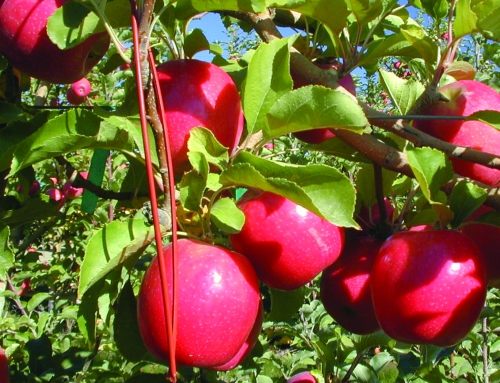 HOW TO SUCCESFULLY USE BIOCONTROL IN GREEK PEACH AND APPLE ORCHARDS