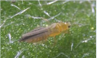Ακμαίο του θρίπα Frankliniella occidentalis